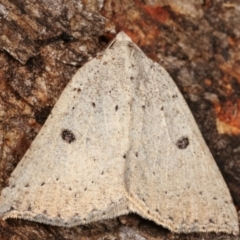 Amelora undescribed species (TBC) at Tidbinbilla Nature Reserve - 12 Mar 2021 by kasiaaus