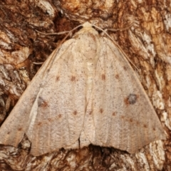 Androchela (genus) (A Cape-moth) at Tidbinbilla Nature Reserve - 12 Mar 2021 by kasiaaus