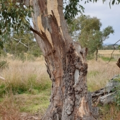 Eucalyptus blakelyi at Mount Painter - 8 Mar 2021