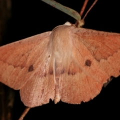 Monoctenia falernaria (Patched Leaf Moth) at Tidbinbilla Nature Reserve - 12 Mar 2021 by kasiaaus