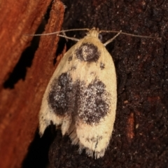 Garrha ocellifera (A concealer moth) at Tidbinbilla Nature Reserve - 12 Mar 2021 by kasiaaus