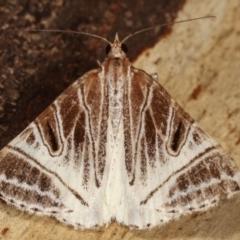 Phrataria replicataria (Pale Phrataria) at Tidbinbilla Nature Reserve - 12 Mar 2021 by kasiaaus