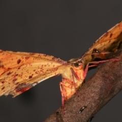 Parepisparis lutosaria (Bright Twisted-moth) at Tidbinbilla Nature Reserve - 12 Mar 2021 by kasiaaus