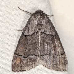 Stibaroma melanotoxa (Grey-caped Line-moth) at Tidbinbilla Nature Reserve - 12 Mar 2021 by kasiaaus