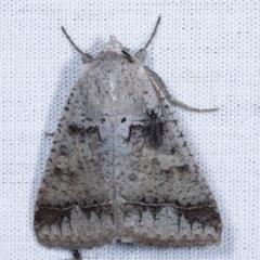 Pantydia sparsa ( A noctuid moth) at Tidbinbilla Nature Reserve - 12 Mar 2021 by kasiaaus