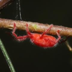 Trombidiidae sp. (family) at ANBG - 14 Mar 2021