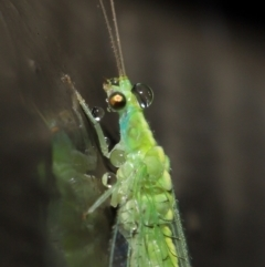Chrysopidae sp. (family) (Unidentified Green lacewing) at ANBG - 14 Mar 2021 by TimL