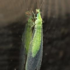 Chrysopidae sp. (family) at ANBG - 14 Mar 2021