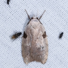 Zonopetala quadripustulella at Tidbinbilla Nature Reserve - 12 Mar 2021 by kasiaaus