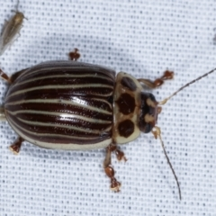 Paropsisterna lignea (Lignea leaf beetle) at Tidbinbilla Nature Reserve - 12 Mar 2021 by kasiaaus