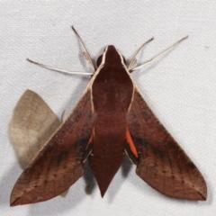 Hippotion scrofa (Coprosma Hawk Moth) at Tidbinbilla Nature Reserve - 12 Mar 2021 by kasiaaus