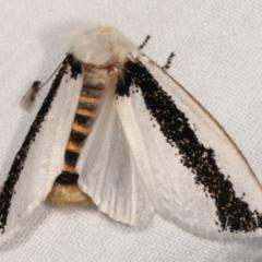 Oenosandra boisduvalii (Boisduval's Autumn Moth) at Tidbinbilla Nature Reserve - 12 Mar 2021 by kasiaaus