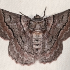 Hypobapta (genus) (A Geometer moth) at Tidbinbilla Nature Reserve - 12 Mar 2021 by kasiaaus