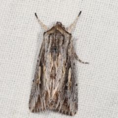 Persectania ewingii (Southern Armyworm) at Tidbinbilla Nature Reserve - 12 Mar 2021 by kasiaaus