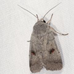 Proteuxoa tibiata (An Owlet moth) at Tidbinbilla Nature Reserve - 12 Mar 2021 by kasiaaus