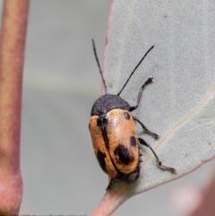 Cadmus (Cadmus) litigiosus (Leaf beetle) at Woodstock Nature Reserve - 18 Mar 2021 by Roger