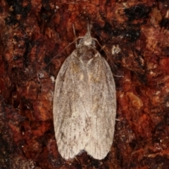 Pedois (genus) at Tidbinbilla Nature Reserve - 12 Mar 2021 by kasiaaus