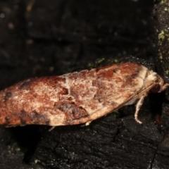Epiphyas ashworthana (A Tortricid moth) at Tidbinbilla Nature Reserve - 12 Mar 2021 by kasiaaus