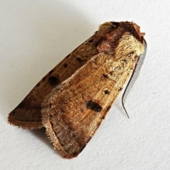 Agrotis porphyricollis (Variable Cutworm) at Crooked Corner, NSW - 5 Jan 2021 by Milly