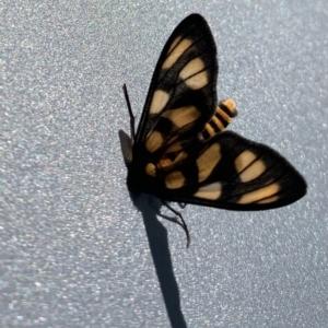 Amata (genus) at ANBG - 5 Mar 2021