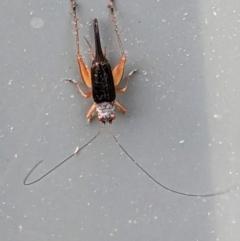 Trigonidium sp. (genus) at Hughes, ACT - 16 Mar 2021