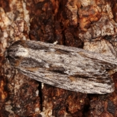 Agriophara platyscia (A Concealer moth) at Tidbinbilla Nature Reserve - 12 Mar 2021 by kasiaaus