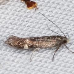 Aproaerema simplexella at Tidbinbilla Nature Reserve - 12 Mar 2021 by kasiaaus