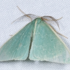 Chlorocoma (genus) (Emerald moth) at Tidbinbilla Nature Reserve - 12 Mar 2021 by kasiaaus