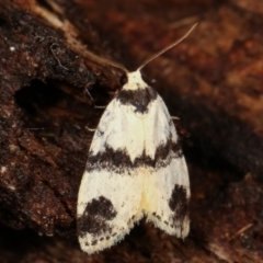 Thallarcha sparsana (Fair Footman) at Tidbinbilla Nature Reserve - 12 Mar 2021 by kasiaaus