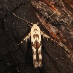 Stathmopoda melanochra (An Oecophorid moth (Eriococcus caterpillar)) at Tidbinbilla Nature Reserve - 12 Mar 2021 by kasiaaus