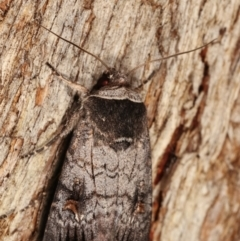 Proteuxoa restituta (An owlet moth) at Tidbinbilla Nature Reserve - 12 Mar 2021 by kasiaaus