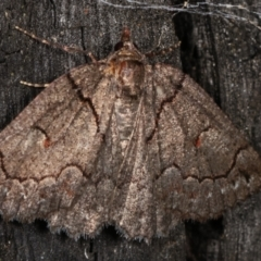 Austroterpna (genus) (A Geometer moth) at Tidbinbilla Nature Reserve - 12 Mar 2021 by kasiaaus
