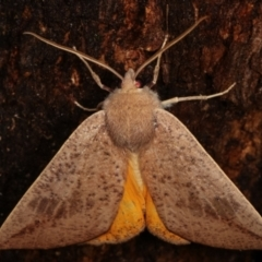 Mnesampela heliochrysa (Golden-winged Gum Moth) at Tidbinbilla Nature Reserve - 12 Mar 2021 by kasiaaus