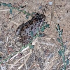 Limnodynastes tasmaniensis (Spotted Grass Frog) at Albury - 18 Mar 2021 by ChrisAllen