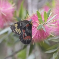 Delias harpalyce (Imperial Jezebel) at ANBG - 18 Mar 2021 by AlisonMilton