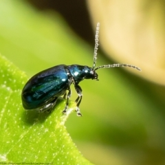 Altica sp. (genus) (Flea beetle) at ANBG - 19 Mar 2021 by Roger