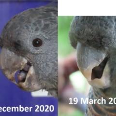 Callocephalon fimbriatum (Gang-gang Cockatoo) at Griffith, ACT - 19 Mar 2021 by roymcd