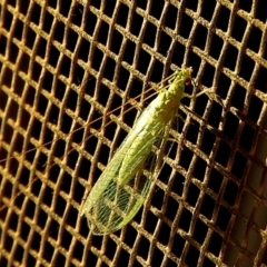 Chrysopidae sp. (family) (Unidentified Green lacewing) at Crooked Corner, NSW - 23 Jan 2021 by Milly