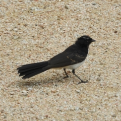 Rhipidura leucophrys (Willie Wagtail) at Jerrabomberra Wetlands - 17 Mar 2021 by MatthewFrawley