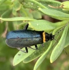 Chauliognathus lugubris (Plague soldier beetle) at Murrumbateman, NSW - 19 Mar 2021 by SimoneC