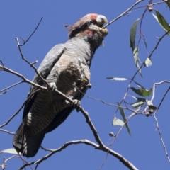 Callocephalon fimbriatum (Gang-gang Cockatoo) at The Pinnacle - 14 Mar 2021 by AlisonMilton