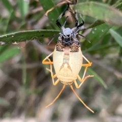 Pentatomidae (family) (Unidentified Shield or Stink bug) at Murrumbateman, NSW - 18 Mar 2021 by SimoneC