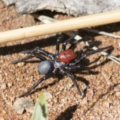 Missulena occatoria (Red-headed Mouse Spider) at The Pinnacle - 15 Mar 2021 by AlisonMilton