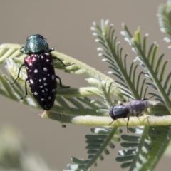 Diphucrania leucosticta (White-flecked acacia jewel beetle) at The Pinnacle - 15 Mar 2021 by AlisonMilton