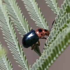 Calomela maculicollis (Leaf beetle) at The Pinnacle - 15 Mar 2021 by AlisonMilton