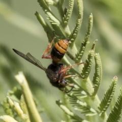 Cerceris sp. (genus) (Unidentified Cerceris wasp) at The Pinnacle - 15 Mar 2021 by AlisonMilton