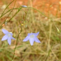 Wahlenbergia sp. (Bluebell) at Queanbeyan West, NSW - 19 Mar 2021 by RodDeb