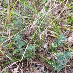 Melichrus urceolatus at Mount Painter - 19 Mar 2021