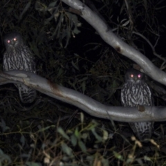Ninox connivens (Barking Owl) at Hodge Island - 19 Mar 2021 by WingsToWander