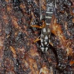 Ichneumonidae sp. (family) (Unidentified ichneumon wasp) at Evatt, ACT - 17 Mar 2021 by Thurstan